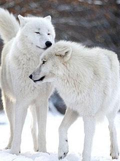 Thế Giới Động Vật - Thung Lũng Của Chó Sói